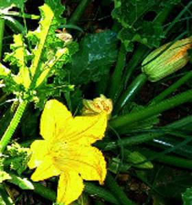 blooming zuchinni with young squash