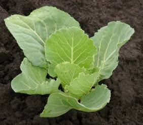cabbage seedling