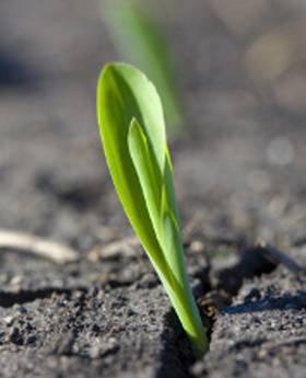 corn seedling just emerging