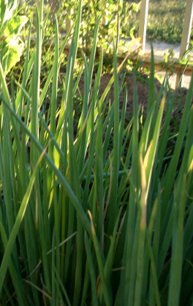 green onions growing