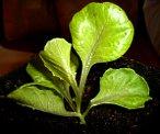 lettuce potted