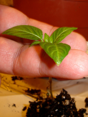 lift seedling by the leaves