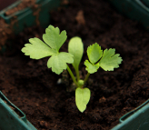 parsley seedling true leaf