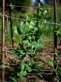 snow peas on support