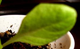 bibb lettuce true leaf