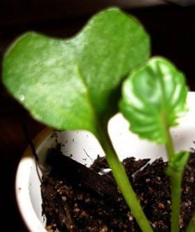 broccoli true and seed leaf