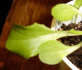 simpson lettuce true leaf