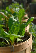 container growing collard greens