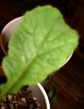 true radish leaf