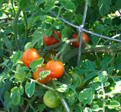 ripe tomatoes on vine